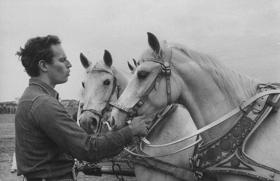 Charlton Heston acariciando unos caballos blancos